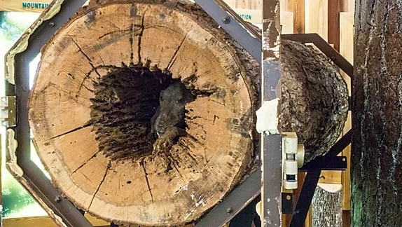 Loggers Cut Down An Old Tree But Never Expected To Discover This Inside